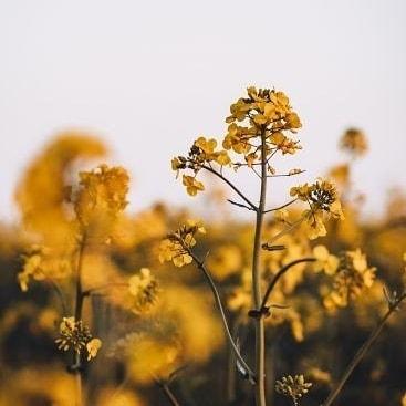 Aujourd'hui j'aimerai vous parler de ma cire de colza 🍃Pourquoi le #colza ?Contrairement au #soja qui est cultivé aux #U...